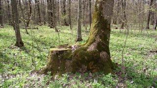 Молдавия . Оргеевский лес .