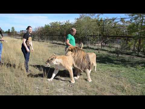 Лола отсекает конкуренток от  льва Марселя ! Львица захотела поиграть с девушкой ...