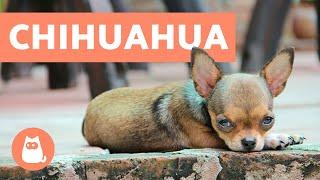 10 curiosidades sobre los chihuahua