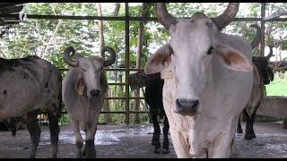 Inmunización del ganado bovino contra el veneno de terciopelo