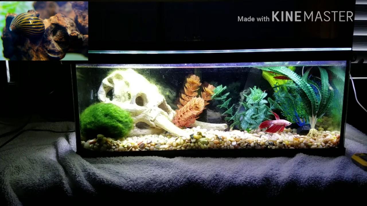 Betta tank mates for a 2 5 gallon tank youtube for Tank mates for betta fish