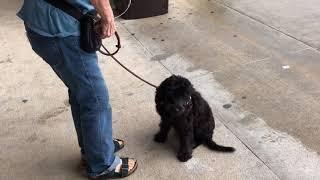 Cosmopolitan Companion Dogs