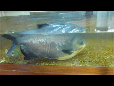 Cleaning A Large Red Belly Pacu 125 Gallon Tank