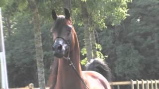 Arabian horse| Арабские лошади(, 2016-03-10T18:53:19.000Z)