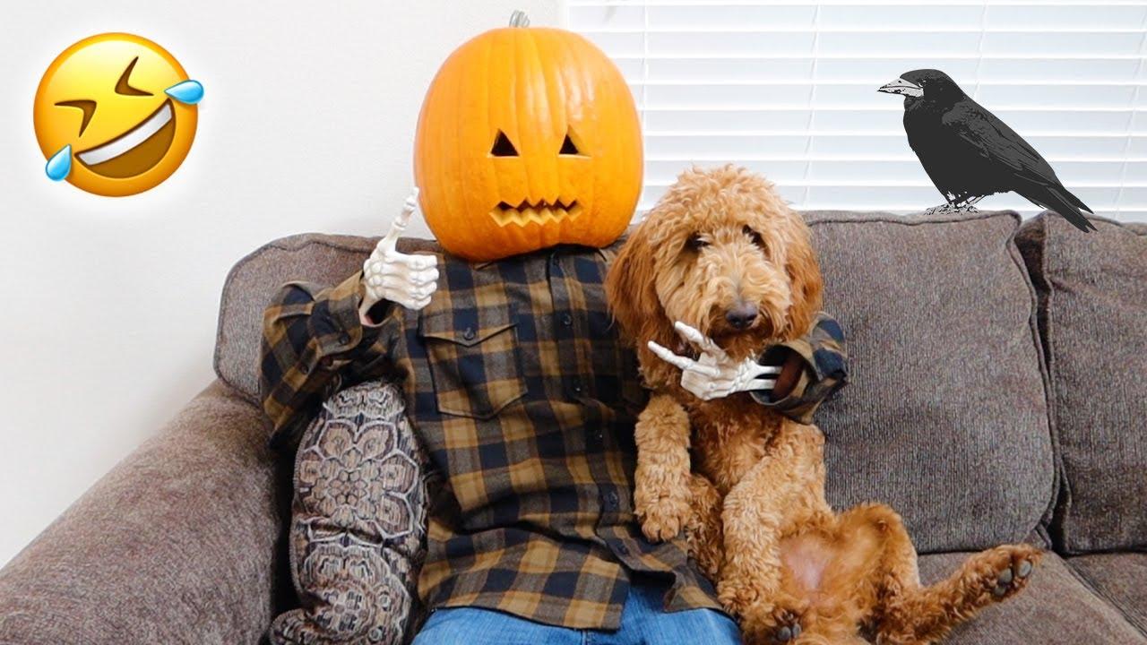Halloween Pumpkin VS Funny Dog Zoey