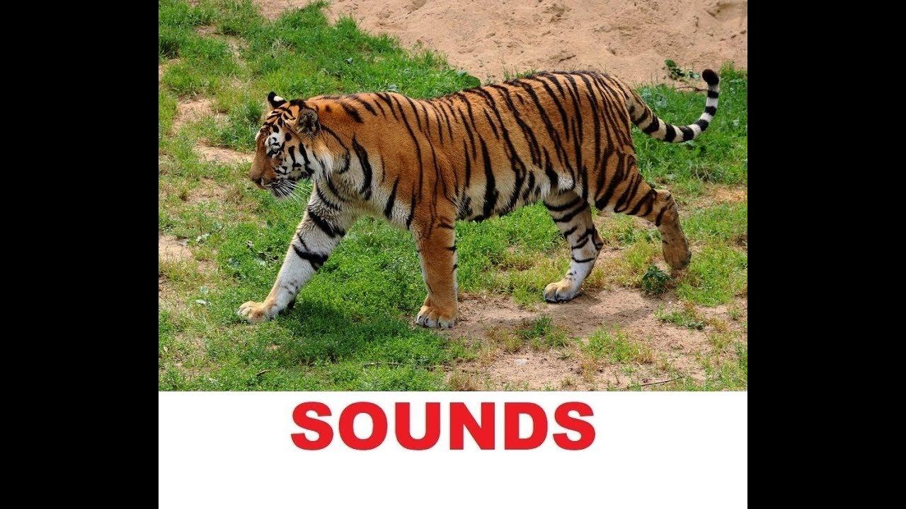 Tiger Roaring | Sound Clips Form Orange Free Sounds