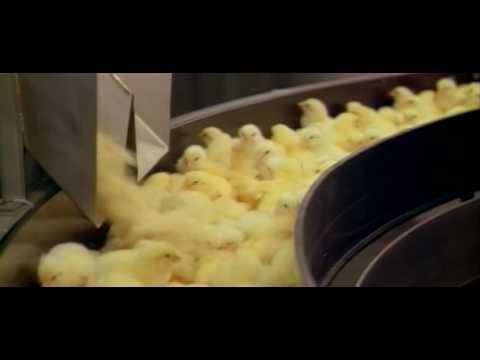 """Chickens from """"Baraka"""""""