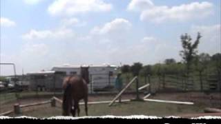 Andalusian horses free lunging over small jumps