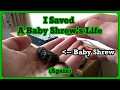 I Save A Baby Shrew's Life (Again)