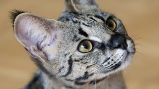 This Is The Most Expensive Cat Breed In The World