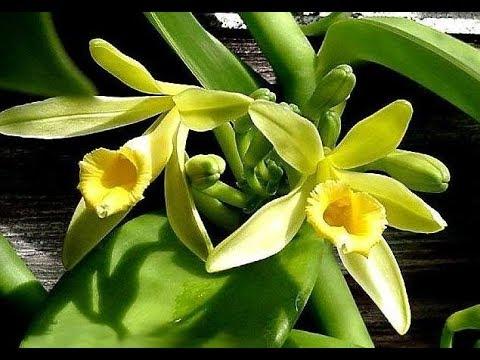 Muda Orquídea Baunilha (Vanilla Planifolia) Uso Culinário Promoção