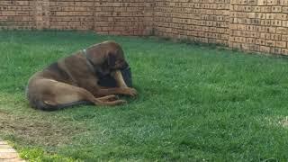 Boerboel cross Rottweiler at 9 months