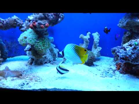 Chaetodon Auriga (reef Mode)