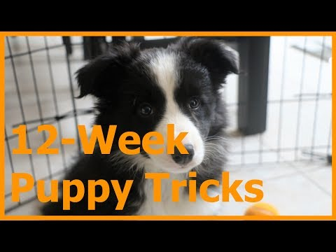 12-Week Border Collie Puppy Tricks and Training
