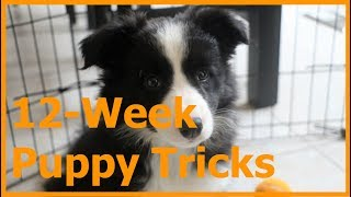 Border Collie Puppy Tricks and Training (12Week)