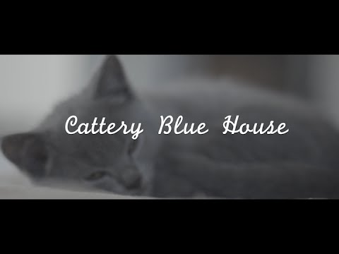 Cattery Blue House - Chartreux Kittens - Cats