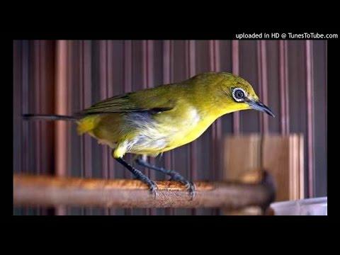 Suara Burung Pleci untuk Pancingan