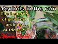 Orchids after rain- benefits - Intresting updates - Orchid Collection Outdoors