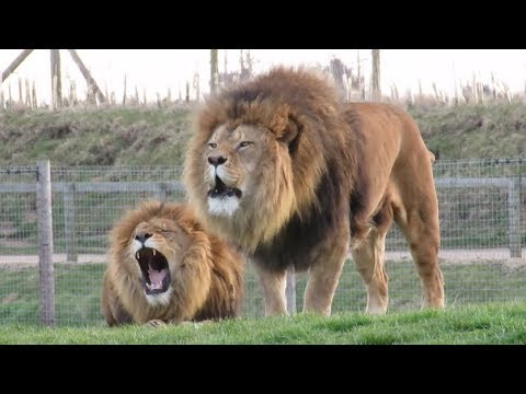 Lions Roaring Compilation