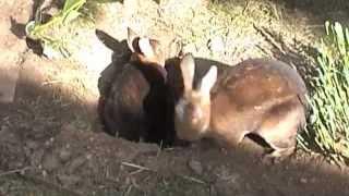 Bunnies Digging