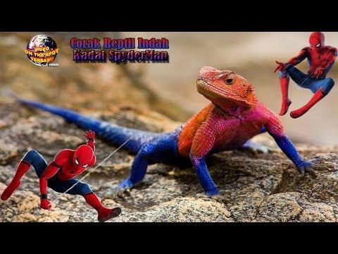 Kadal SpiderMan,, Reptil Memukau Dengan Corak yang Sangat Memesona Indah..