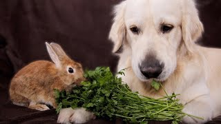 Dog and Rabbit are the Cutest Friends Eating Greens Together
