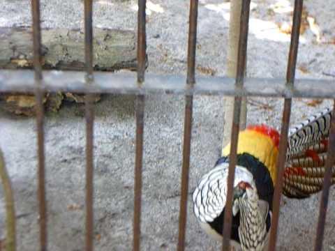 Courting Pheasants at Avilon Zoo