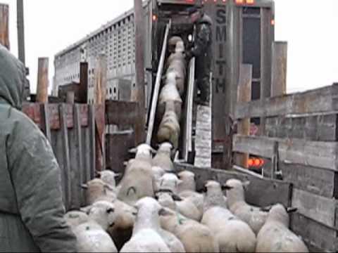 Easy load sheep