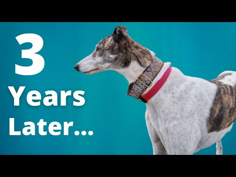 Adopting a Greyhound - 3 years with Magnus