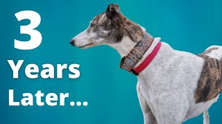 3 years with Magnus - Adopting a Greyhound