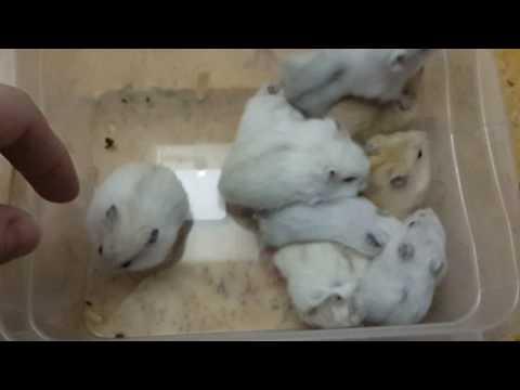 Джунгарские белые хомячки. Малыши.