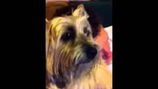 Grumpy Cairn Terrier
