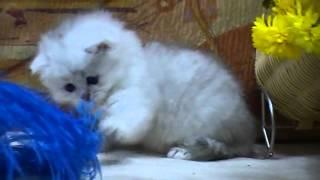 Британские котята на british-chinchilla.dp.ua.flv