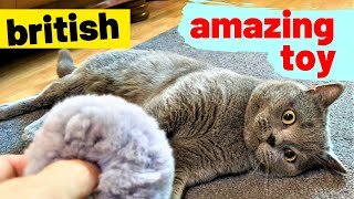 Tom's Funny Cat videos - British Shorthair #03