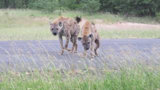 Hyena greetings
