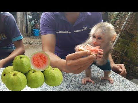 Baby Monkey Doo Eating Guava - Funny Animals