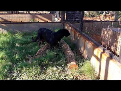 Luna the black leopard hunting a mouse im her feeding camp while we clean her enclosure!