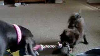 Blue Weimaraner And Pomeranian Tug-o-war