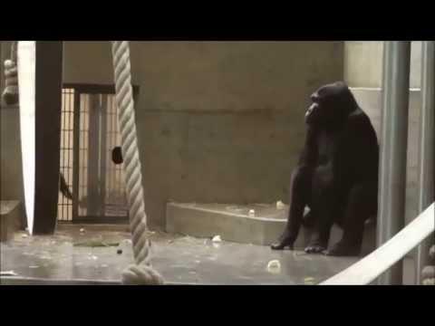 Zoo Stuttgart - Wilhelma: Zusammenführung von Okanda und Tano mit Kolo und Kimbali
