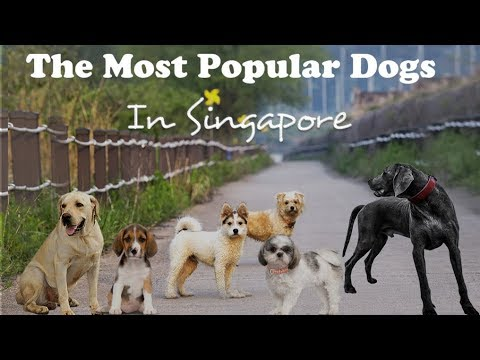 11 Most Popular Dogs in Singapore