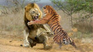 ЛЕВ В ДЕЛЕ! Львы против тигров, крокодилов, буйволов..
