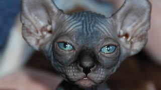10 rarest cat breeds in the world