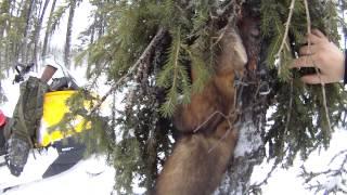Охота на соболя капканами КП 120 видео