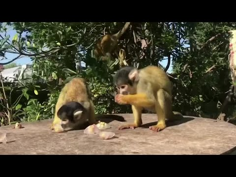 London Zoo's squirrel monkeys enjoy icy treats