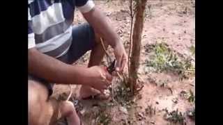 Repeat youtube video Enxerto de jabuticaba