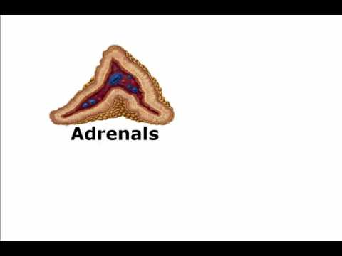 Adaptogens, The Adrenal Superfoods