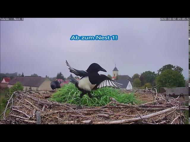 Dohlen und Elstern zusammen auf den Nestern! 02.10.20