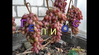 Виноград Беларуси, Лидчина . Сорт винограда -Гелиос.( Аркадия розовая.)