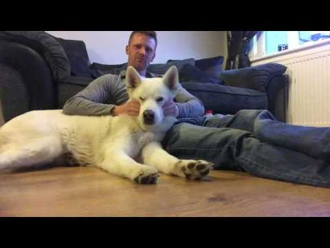 korean jindo relax before bed