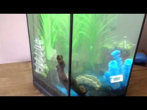 Aquael hex 60l cycling fish tank youtube for Cycling a fish tank